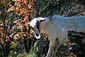 Goat at Vikos Canyon.jpg