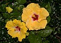 Gold-Red Hibiscus-01+ (2052205114).jpg