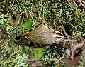 Golden-crowned kinglet at JBWR (11886).jpg