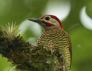 Golden-olive woodpecker species of bird