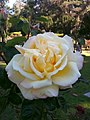 Golden Gate Park Rose Garden 1.jpg
