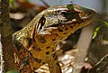 Golden Tegu (Tupinambis teguixin) (29230540351).jpg