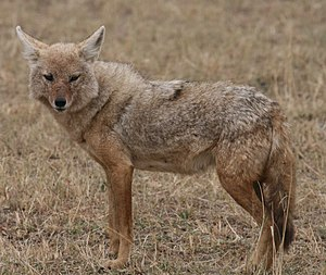 African golden wolf - Canis anthus bea in Ngorongoro Crater, Tanzania