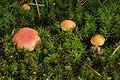 Gomphidius roseus (37102505914).jpg