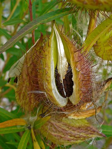 Valued image set: Gomphocarpus fruticosus (Balloon Cotton ...
