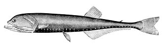 Gonostomatidae - Image: Gonostoma elongatum