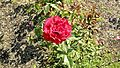 Grandiflora - Gov. Mark Hatfield 2 (cr).JPG