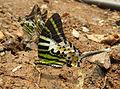 Graphium antiphates - Five-bar Swordtail 19.jpg