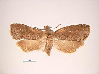 <i>Grapholita molesta</i> Oriental fruit moth