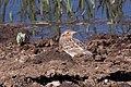 Grasshopper Sparrow Davis Pasture Las Cienegas NCA AZ 2018-05-15 08-47-44-2 (47841314701).jpg