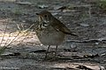 Gray-cheeked Thrush Sabine Woods High Island TX 2018-04-26 09-09-07 (40283642640).jpg