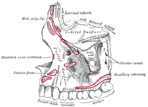 Infraorbital groove - Left maxilla. Outer surface. (Infra-orbital groove labeled at upper right.)