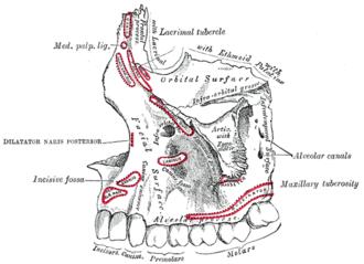 Alveolar process - Left maxilla. Outer surface. (Alveolar process visible at bottom.)