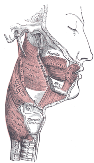 Pterygomandibular raphe - Muscles of the pharynx and cheek. (Pterygo-Mandibular ligament labeled at center, vertically.)