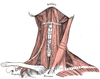 Stylohyoid ligament - Muscles of the neck. Anterior view.