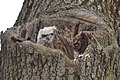 Great Horned Owl nest (32949077570).jpg