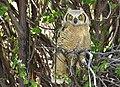 Great horned owl owlet on Seedskadee National Wildlife Refuge (34193584604).jpg