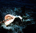 Great white shark at his backn1.jpg