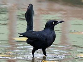 Greater Antillean Grackle RWD2.jpg
