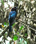 Greater Racket-tailed Drongo.jpg