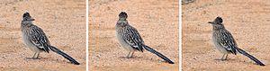 Greater roadrunner - Three views of the same specimen