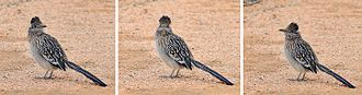 Greater roadrunner - Three views of the same specimen