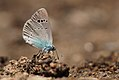 Green-underside Blue (Glaucopsyche alexis), Nera River Gorges, SW Romania (35448403716).jpg