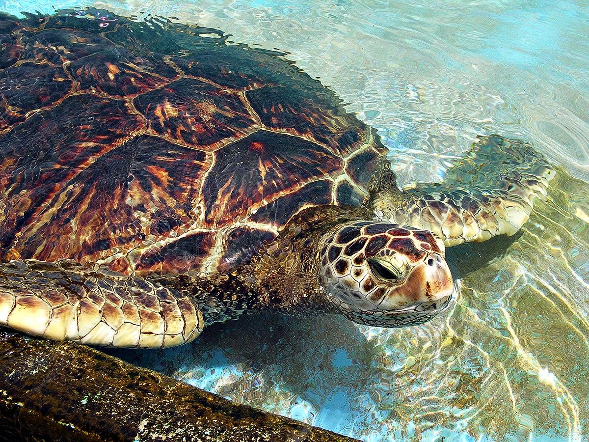 Chelonioidea - Wikipedia, la enciclopedia libre