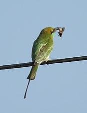 Green Bee-eater Merops orientalis feeding on Honey-bee by Dr. Raju Kasambe DSCN1640 (1)
