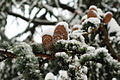Green Lake cedar cones covered in snow 2008.jpg