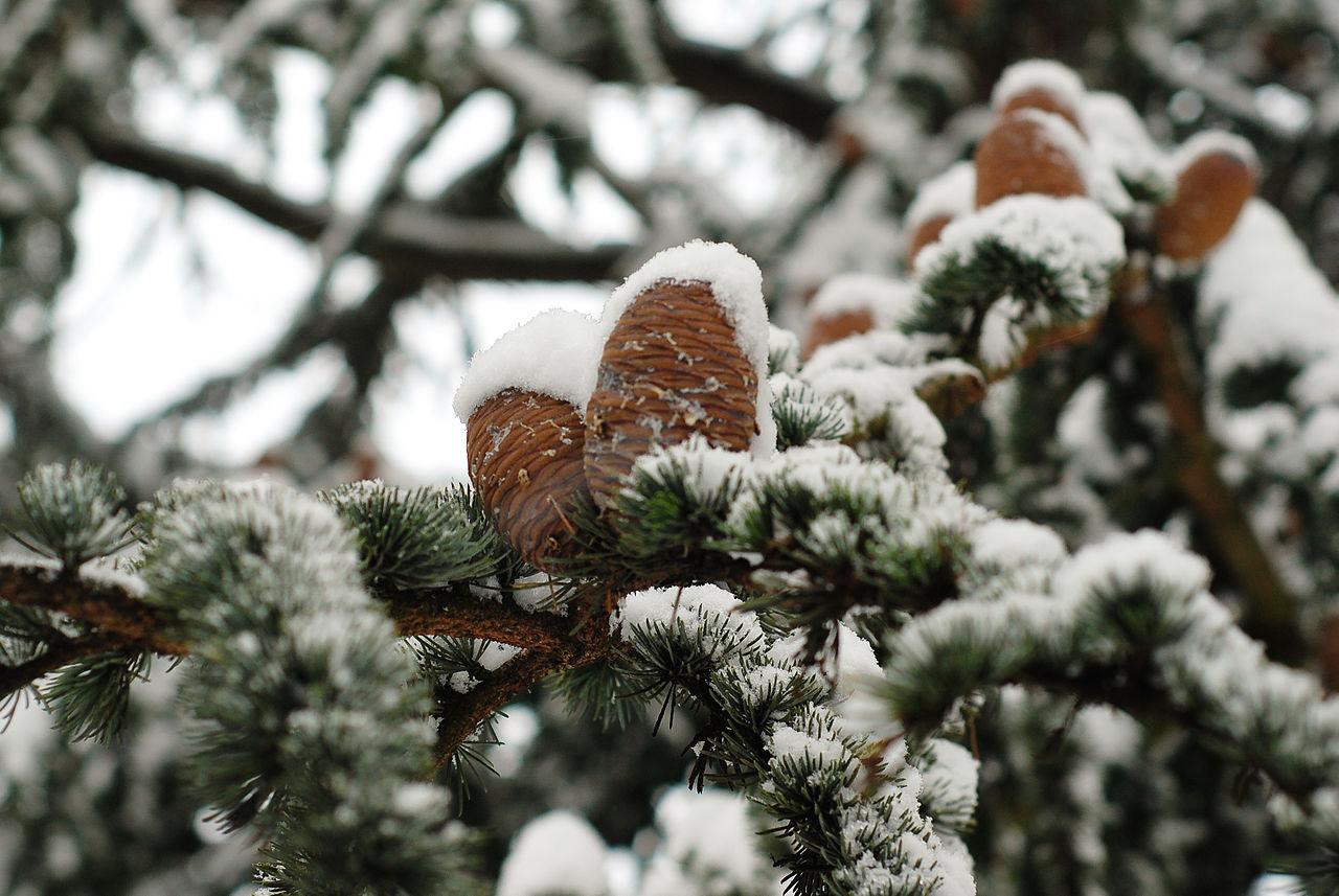 Piñas de cedro del Líbano, cubiertas por la nieve.