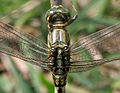 Green Marsh Hawk (Orthetrum sabina) W2 IMG 3462.jpg