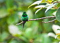 Green Thorntail 3.jpg