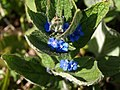 Green alkanet, Higher Ramshill Lane - geograph.org.uk - 758099.jpg