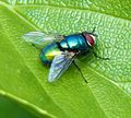 Green bottle fly 2013-05-26.jpg