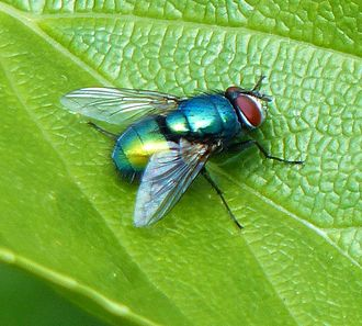 Green bottle fly - Image: Green bottle fly 2013 05 26
