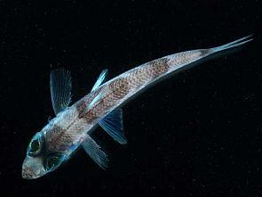 unbestimmter Grünaugenfisch