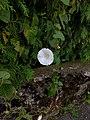 Grenchen - Calystegia sepium.jpg