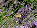 Grenchen - Ochlodes sylvanus on purple flower.jpg