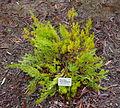 Grevillea thelemanniana - UC Santa Cruz Arboretum - DSC07363.JPG