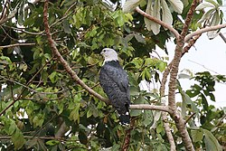 Grey-headed kite (Leptodon cayanensis) immature light morph.JPG
