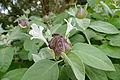 Grey Barleria (Barleria albostellata) (17388718962).jpg