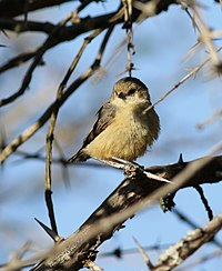 Grey penduline tit, Anthoscopus caroli, also known as the African penduline-tit at Ndumo Nature Reserve, KwaZulu-Natal, South Africa (28299948354).jpg