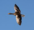 Greylag Goose in Flight (6378311027).jpg