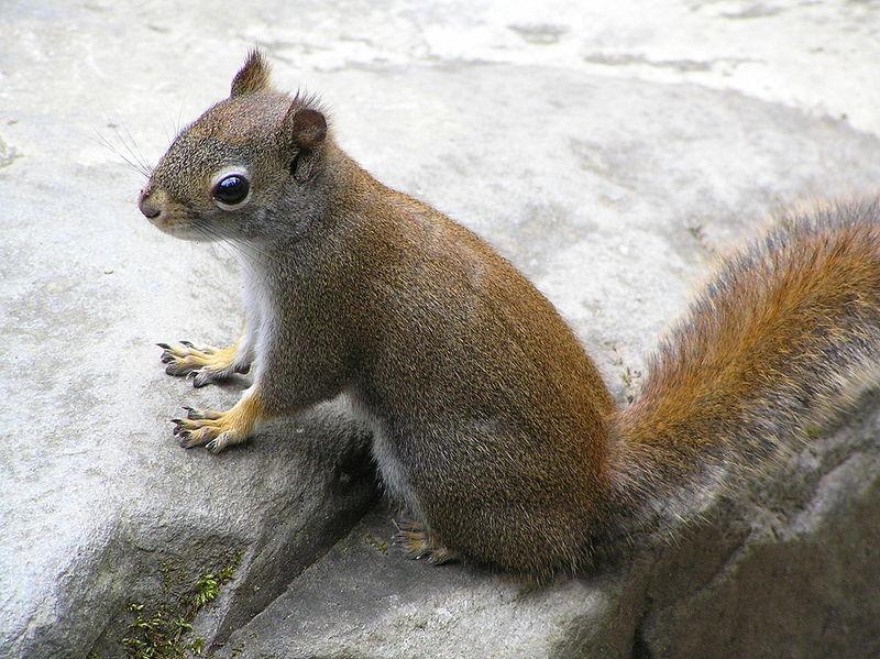 GroundSquirrelPosing.JPG