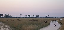 Botswana-Fauna-Group-of-Lechwe-at-dawn