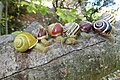 Grove snail Cepaea nemoralis, showing colour and banding polymorphism.jpg