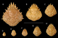 Growth series of dorsal carapaces of modern Nemausa acuticornis (Stimpson, 1871) from various localities of the Atlantic coast of Florida, USA.png