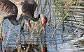 Grus canadensis (Sandhill Crane) 23.jpg