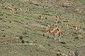 Guanaco (Lama guanicoe) - Torres del Paine National Park 31.jpg